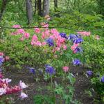 Blooming Azalea and Columbine - mostly shade